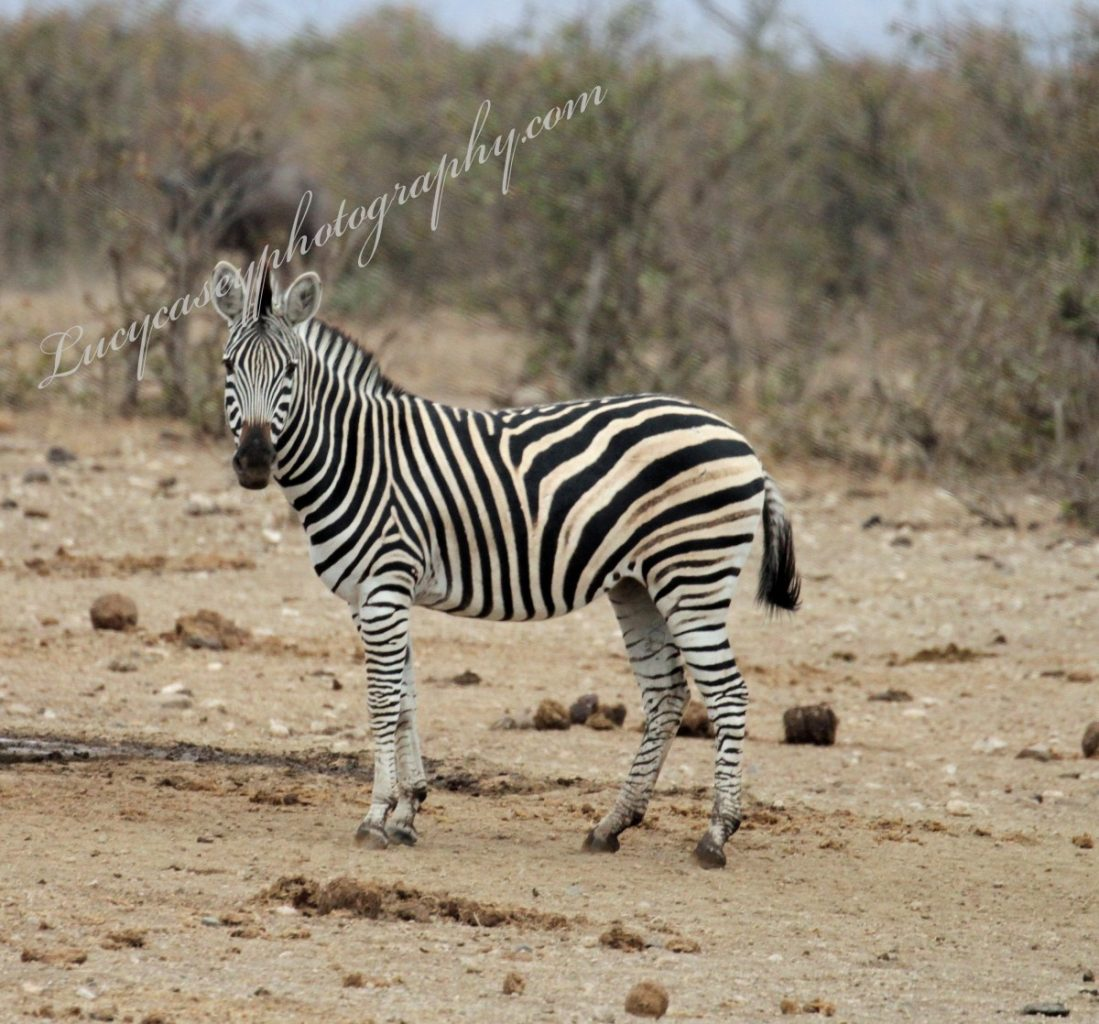essay on wild animal zebra
