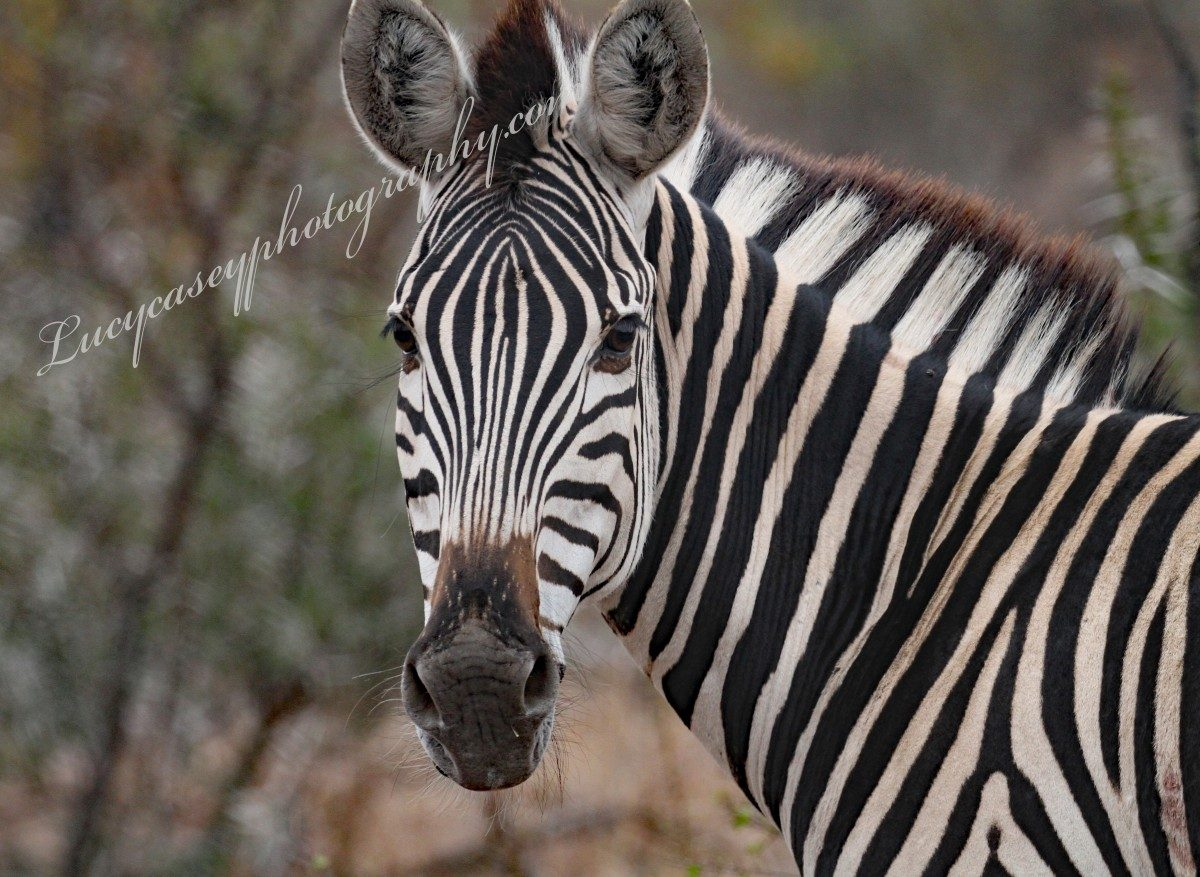 Zebra – in Kruger National Park